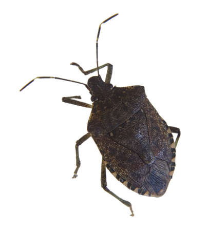 Insect isolated on white that is known as a stink bug Imagens
