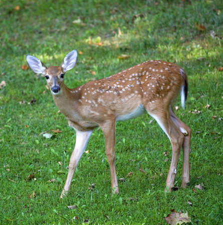 Whitetail deer fawn out in the shade on a grassy field Standard-Bild