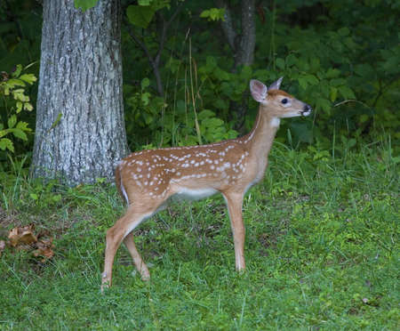 whitetail deer fawn that is on a clearing next to a forest