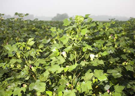 cotton field with flowers and plants covered in dew on a foggy morning photo