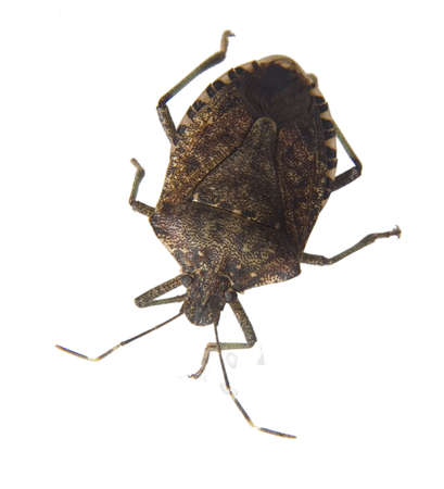 stink bug that has been isolated on a white background