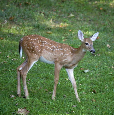 Whitetail deer fawn that is dirty on a green field Stock Photo - 8160193