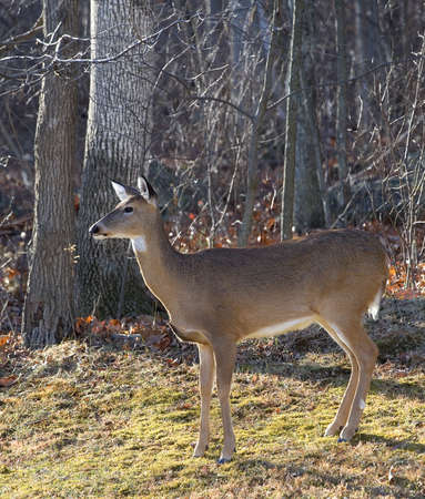 Whitetail deer female standing near a forest in the fall photo