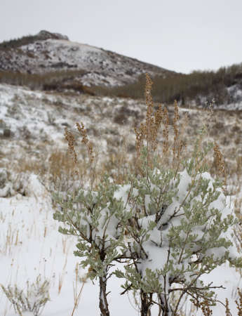 sagebrush: Sagebrush that has been caught in an early season snow Stock Photo