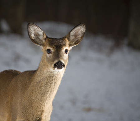 strobist: Whitetail deer yearling coming into the strobes in snow