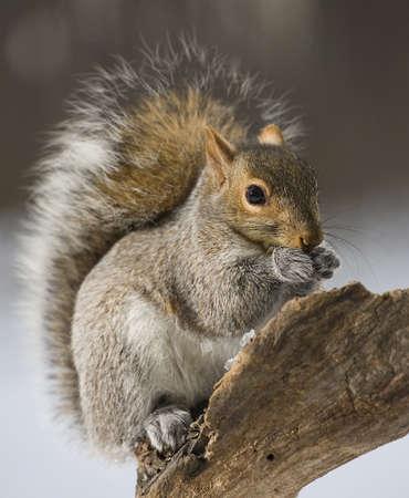 devouring: Tree squirrel in a snowy forest devouring sunflower seeds