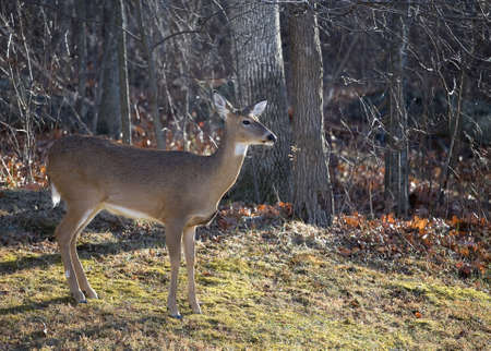 Whitetail doe on the edge of an autumn forest looking at something photo