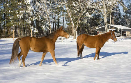Pair of horses that are in a small winter snow Banco de Imagens