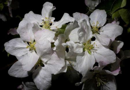 granny smith apple: Granny Smith apple tree flowers in the springtime
