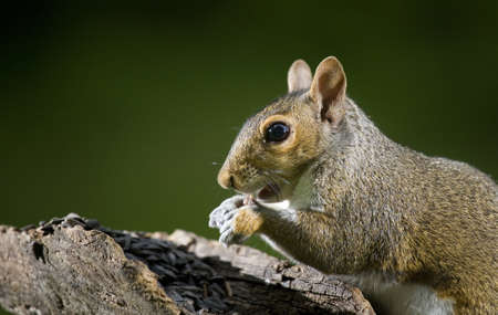 devour: Tree squirrel that is in a hurry to devour some seeds