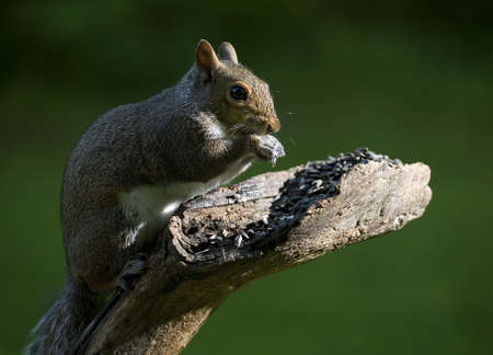 gorging: Tree squirrel that is gorging on a sunflower seed meal