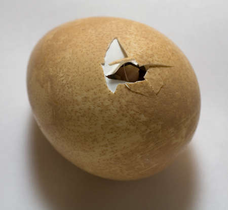 crack: Guinea that has its beak out of the shell before hatching Stock Photo