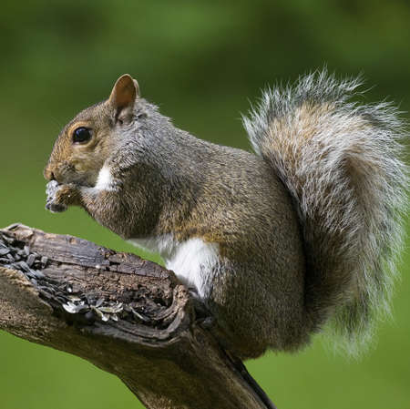 Tree squirrel that is gorging on some sunflower seeds Stock Photo
