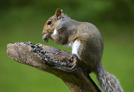 Tree squirrel that is devouring a bunch of sunflower seeds
