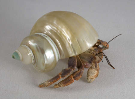 pinchers: Hermit crab that is dragging its shell across a white background