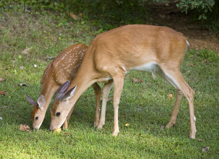 Whitetail doe with its fawn trying to eat from the same spot photo