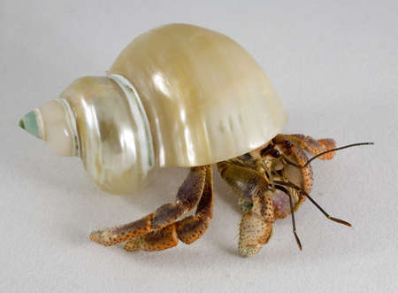 pinchers: Hermit crab on a white surface that is looking around