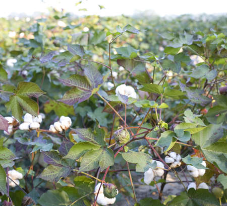 Field of ripening cotton in North Carolina at sunrise Stock Photo