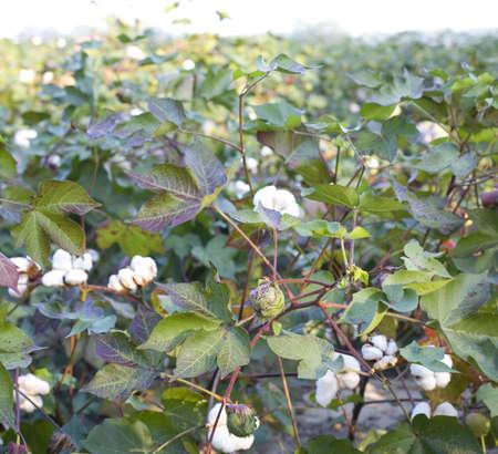 Field of ripening cotton in North Carolina at sunrise Standard-Bild