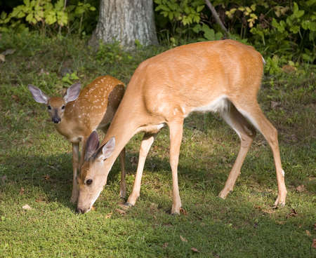 deer  spot: Whitetail deer fawn looking up while its doe grazes
