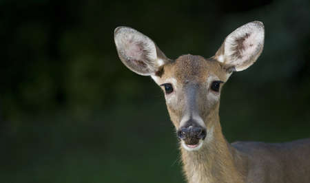 Whitetail doe that is looking right into the camera
