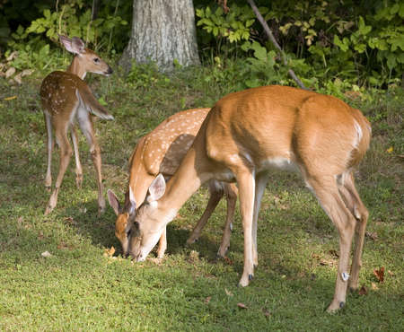 Fawn that is walking away from its doe and a sibling that are eating Stock Photo - 11076536