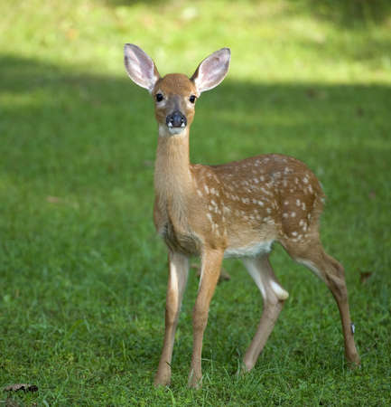 Whitetail deer fawn still in spots on a grassy field photo