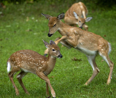 as one: Two fawns with motion blur as one kicks another Stock Photo