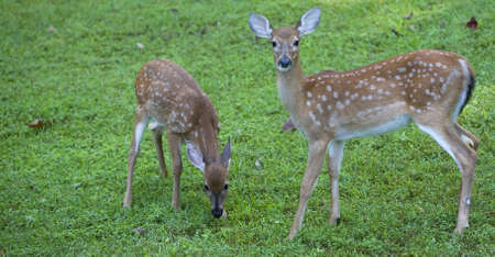 sunup: Two whitetail deer fawn on a grassy field before sunup
