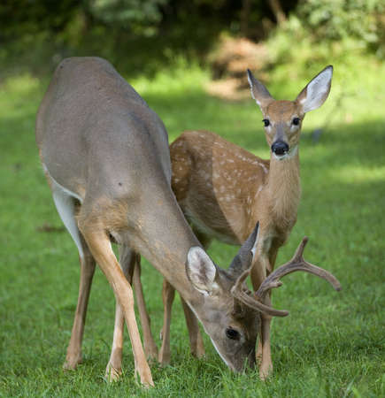 whitetail buck: Whitetail buck with antlers in velvet and a spotted fawn Stock Photo