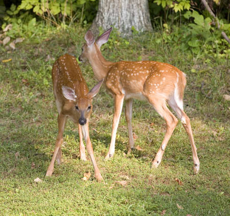 Pair of whitetail deer fawns looking in opposite direction for their doe