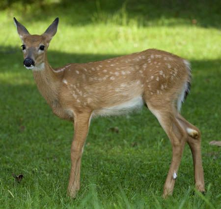 Whitetail fawn with moisture you can see on its nose from the flashes Stock Photo - 11372841