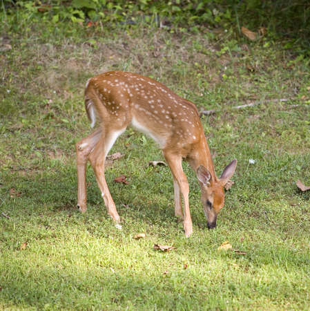 white tail deer: Whitetail deer fawn in spots that is sniffing the grass