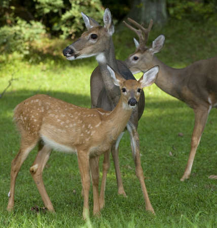 Whitetail doe, buck and fawn in the same close photo photo
