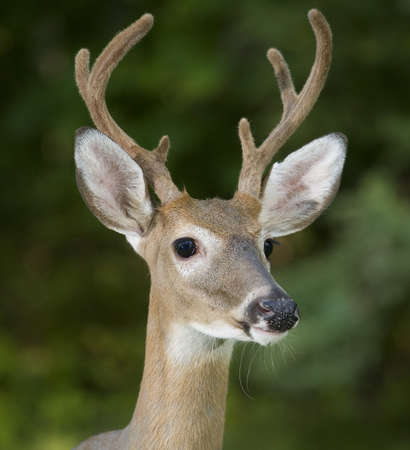 whitetail buck: Whitetail buck with six point antlers that are in velvet
