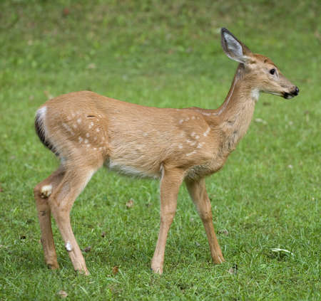 Whitetail deer fawn old enough that its spots are disappearing photo
