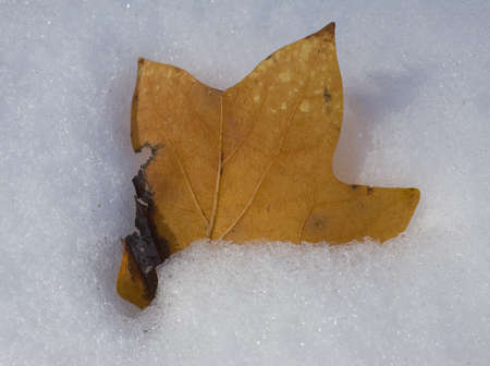 Yellow autumn leaf that has fallen and melted into snow