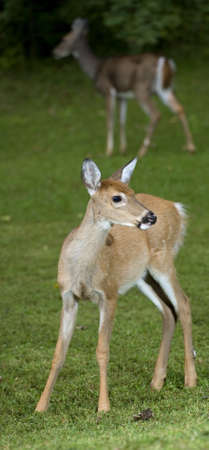 Whitetail deer fawn in the foreground with a doe behind