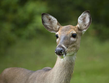Whitetail deer doe that has a blade of grass hanging from her mouth