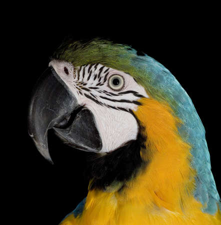 apparently: Blue and gold parrot apparently trying to hypnotize the photographer