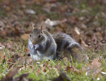 Tree squirrel on the ground in fall just before sunset photo