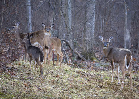 Four whitetail deer including a buck and yearlings near a forest