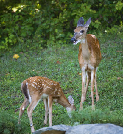 Whitetail deer doe that looks like it is talking to a fawn Stock Photo - 12632258
