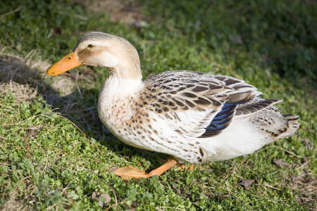 waddling: Duck that is waddling across the grass with its orange feet
