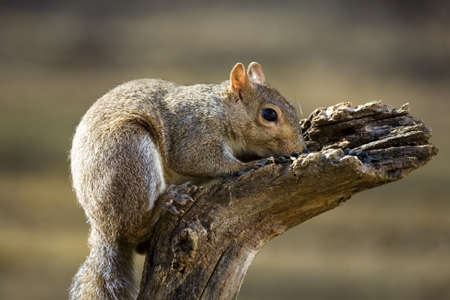 snort: Tree squirrel with its head down in sunflower seed like it was snorting them
