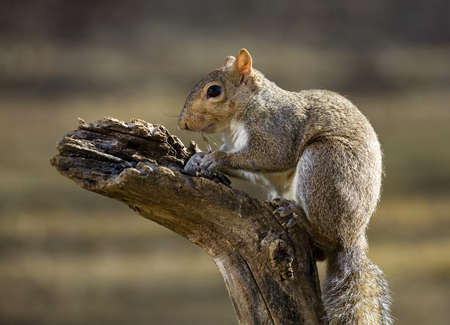 Tree squirrel that looks like it is thinking about jumping 版權商用圖片
