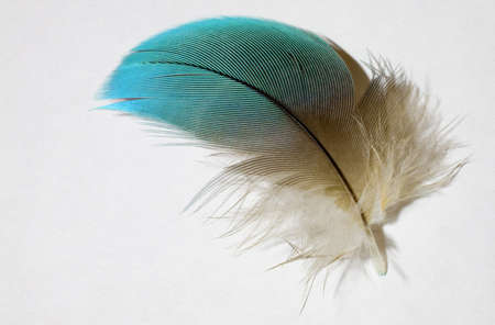 Blue and yellow feather on white from a blue and gold parrot