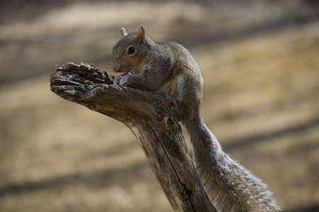 Tree squirrel on a branch gorging itself on sunflower seeds