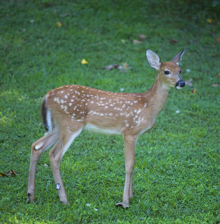 whitetail: Whitetail deer fawn in spots that is on a green field Stock Photo