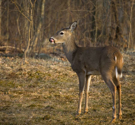 drool: Whitetail deer that has drool coming from its mouth